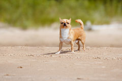Adorable chihuahua dog walking on the beach Royalty Free Stock Photo