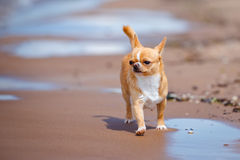 Adorable chihuahua dog walking on the beach Stock Image
