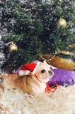 Adorable chihuahua dog wearing a red hat in new year interior Royalty Free Stock Photo