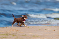 Adorable chihuahua puppy on a beach Stock Image