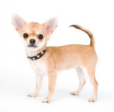 Adorable Chihuahua puppy with black leather studded collar Stock Photo