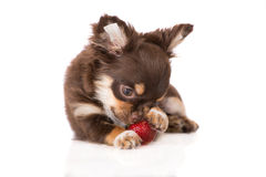 Adorable chihuahua puppy eating strawberry Royalty Free Stock Image