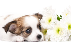 Adorable Chihuahua puppy with flowers Royalty Free Stock Photos