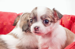 Adorable Chihuahua puppy Royalty Free Stock Image