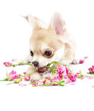 Adorable chihuahua puppy with roses Royalty Free Stock Photos