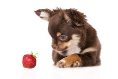 strawberry chihuahua chocolate chihuahua puppy white stock photos images 5800