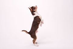 Adorable Chihuahua puppy on white   background Stock Image