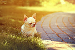 Adorable chihuahua Stock Images