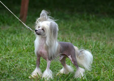 Adorable Chinese Crested Dog on a Leash. Also known as the powderpuff the hairless Chinese crested dog is a toy breed stock image