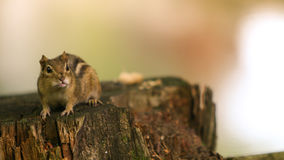 Adorable Chipmunk. Sitting on a stump Stock Images