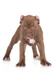 Adorable chocolate brown pit bull puppy Royalty Free Stock Photography