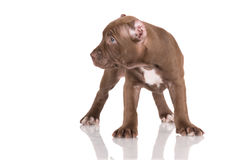 Adorable chocolate brown pit bull puppy Stock Image