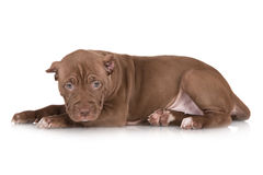 Adorable chocolate brown pit bull puppy Stock Photo
