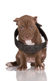Adorable chocolate brown pit bull puppy Royalty Free Stock Images