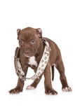 Adorable chocolate brown pit bull puppy Royalty Free Stock Photo