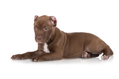 Adorable chocolate brown pit bull puppy Royalty Free Stock Image