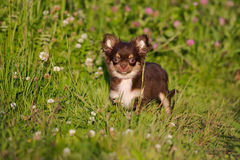 Adorable chocolate chihuahua puppy Stock Image