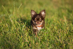 Adorable chocolate chihuahua puppy Royalty Free Stock Image