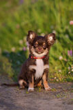 Adorable chocolate chihuahua puppy sitting outdoors Stock Photos