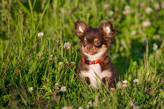 Adorable chocolate chihuahua puppy sitting outdoors Stock Photo