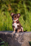 Adorable chocolate chihuahua puppy sitting outdoors Stock Images