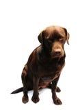 Adorable chocolate labrador Royalty Free Stock Image