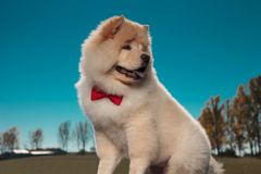 Adorable chow chow puppy dog looks back over its shoulder royalty free stock photography