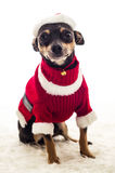 Adorable Christmas dressed Pincher dog Royalty Free Stock Photos