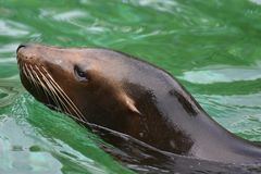 Adorable Shiny Head of this Sea Lion. Adorable Close Up of a Sea Lion Head Royalty Free Stock Photography