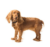 Adorable  cocker spaniel Stock Photo