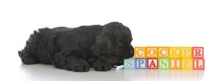 adorable young cocker spaniel puppy stock photography