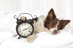 Adorable Collie border breed dog sleeping in bed. Covered with a blanket, an alarm clock is near Royalty Free Stock Photo