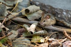 House Mouse Foraging for Food in Yard royalty free stock photography