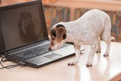 Adorable computer Jack Russell Terrier dog. Naughty dog on the table royalty free stock photography