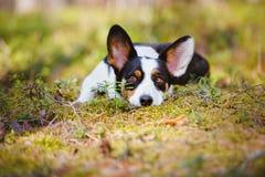 Adorable corgi dog lying down outdoors stock image