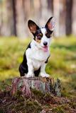 Adorable corgi dog outdoors Stock Images
