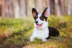 Adorable corgi dog outdoors Stock Photography