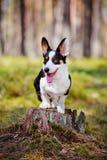 Adorable corgi dog outdoors Royalty Free Stock Image