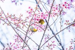 Adorable couple birds mating in the branches of sakura cherry. Pink flowers in full bloom. Spring blossom stock image