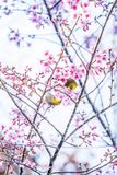 Adorable couple birds mating in the branches of sakura cherry. Pink flowers in full bloom. Spring blossom royalty free stock images