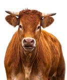 Adorable Cow on white Stock Photos