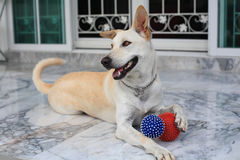 Adorable creamy dog holding two balls Royalty Free Stock Photo