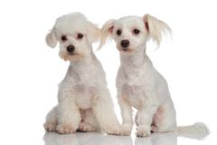 Adorable curious bichon couple looking to side Stock Image