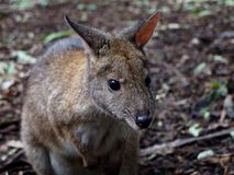 Adorable Curious Friendly Pademelon. Royalty Free Stock Photo