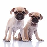 Adorable curious  pug couple sitting together Royalty Free Stock Photography