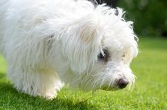Adorable, curious puppy sniffing on green grass. An adorable, curious puppy sniffing on green grass in a vibrant, summer backyard setting in a close up view stock image