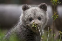 Plant smells good baby bear Royalty Free Stock Images