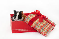 ADORABLE CUTE BABY GUINEA PIG RED BOX Stock Photo