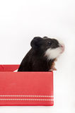 ADORABLE CUTE BABY GUINEA PIG RED BOX. ADORABLE CUTE BABY GUINEA PIG IN RED GIFT BOX WITH BOW stock photos