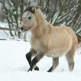 Adorable and cute bay pony running in winter Royalty Free Stock Photography